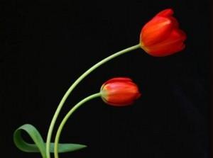 Beautiful Tulip Flowers Red Flower For Desktop Backgrounds