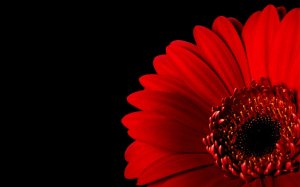 2017-red-flower-on-black
